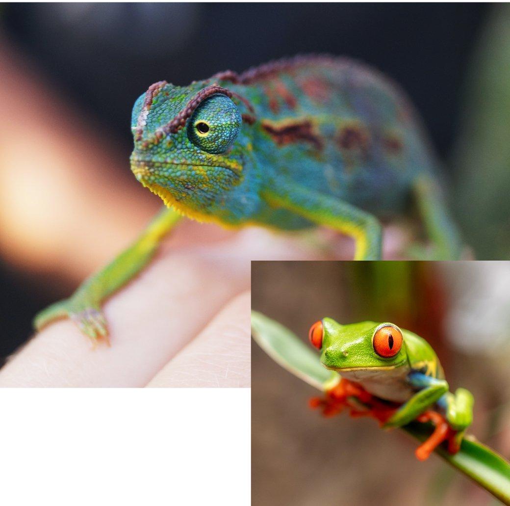 AnimalLaw_Graphics_CLE-Cameleon+TreeFrog-18