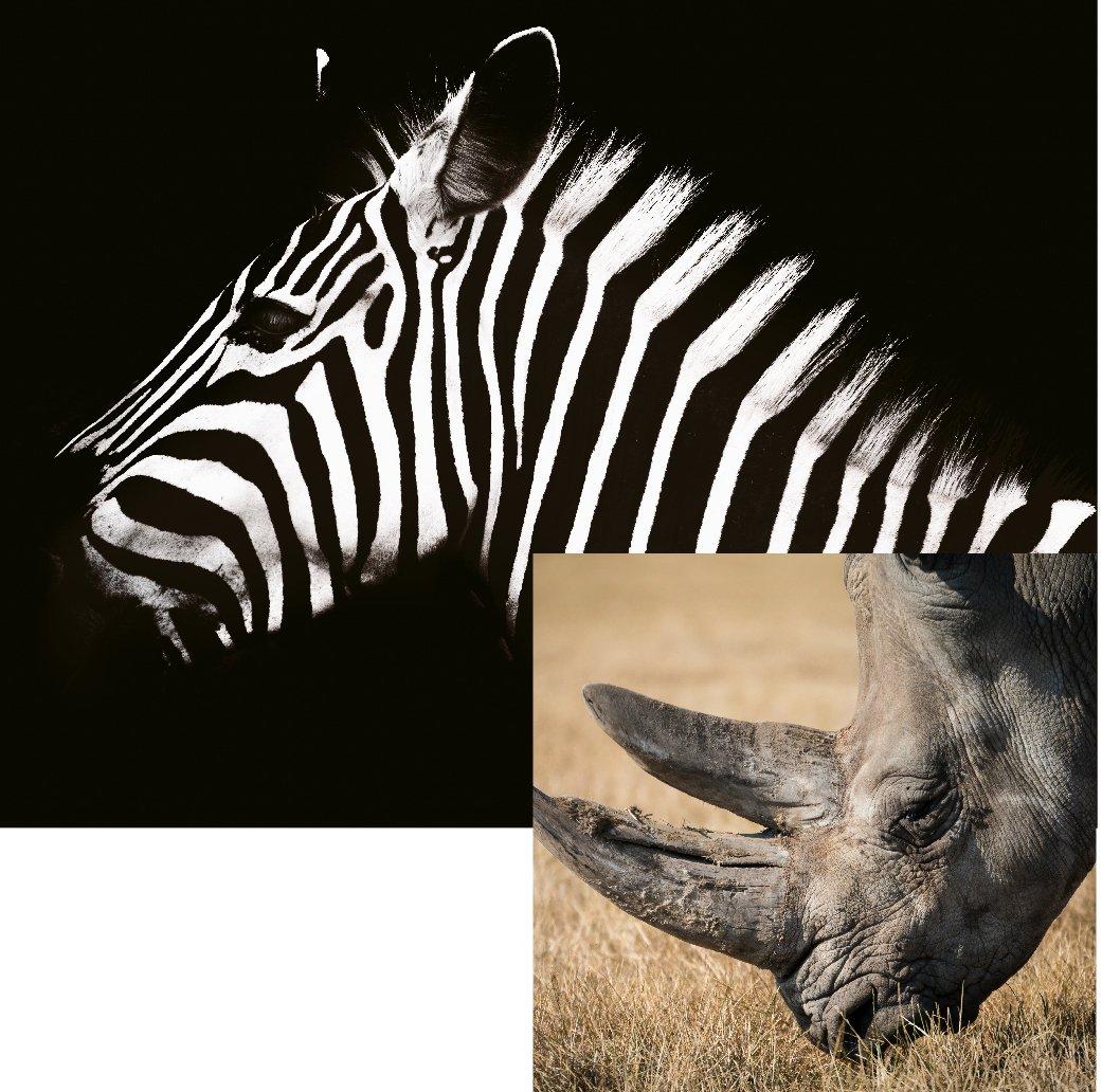 AnimalLaw_Graphics_Membership-Zebra-Rhino-10