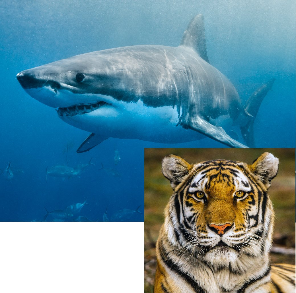 AnimalLaw_Graphics_Special-Projects-Shark-Tiger-20