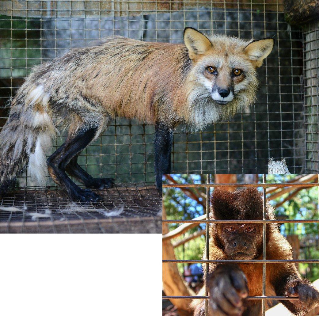 AnimalLaw_Graphics_Criminal-Law_Caged-Fox-Monkey-27
